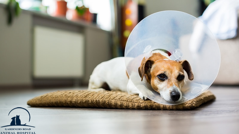 Surgery and Anesthesia Services in Kingston: Preparing Your Dog for Surgery