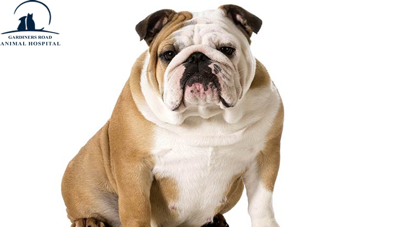 Veterinary Service in Kingston: Weight Loss Tips for Chubby Dogs