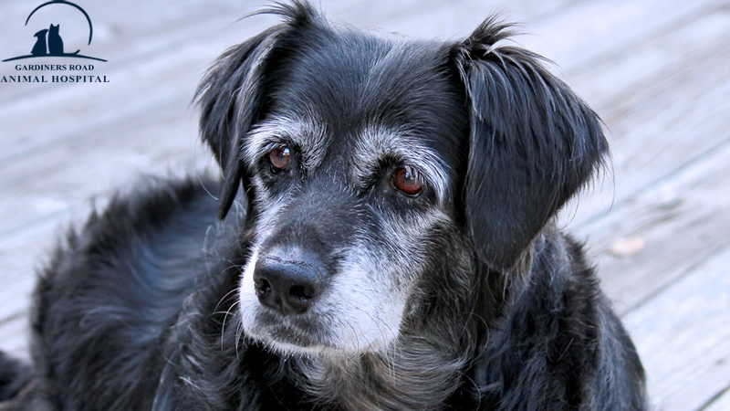 Laboratory Service in Kingston: Why Preventive Testing is Critical for Senior Pets