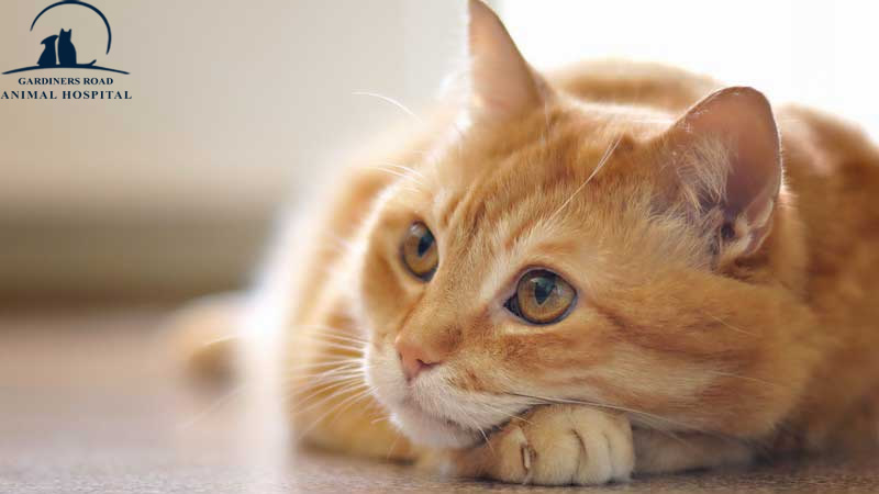 Nutrition Service in Kingston: How to Help Your Overweight Cat Get Healthy