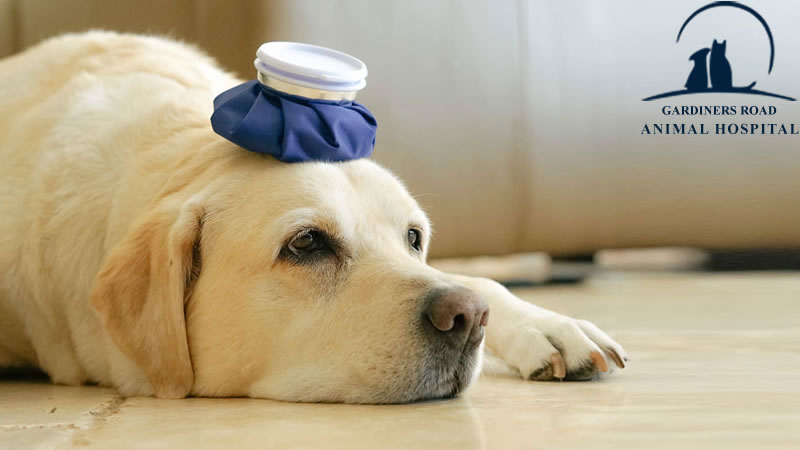 emergency-vet-blue-ice-pack-on-a-dogs-head