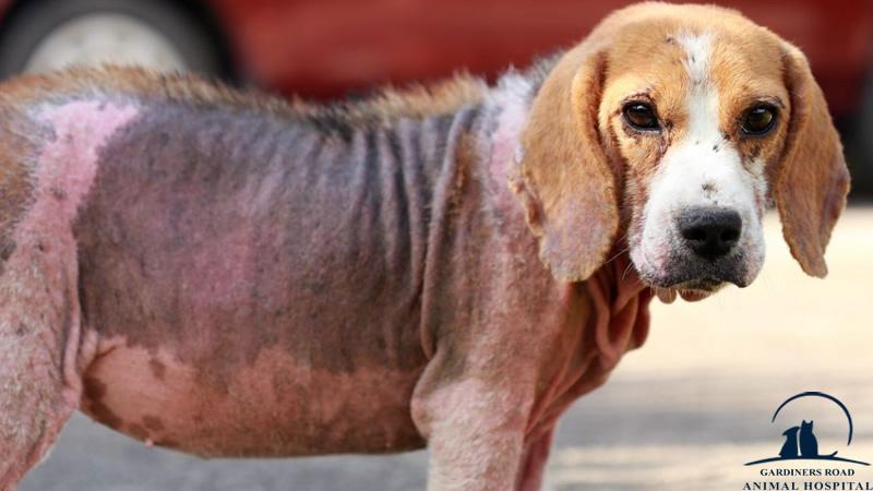Skin Infection in Dog Kingston