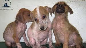 Skin Infection in Dog Kingston1