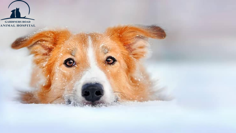Skin Infection in Dog Kingston3