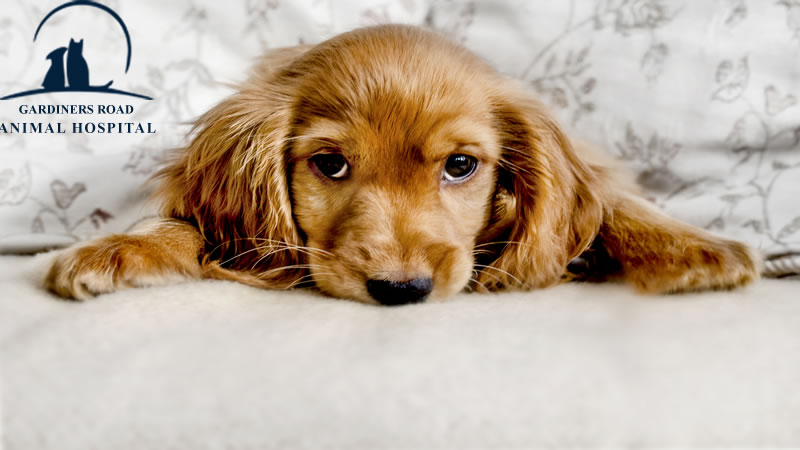 Skin Infection in Dog kingston2