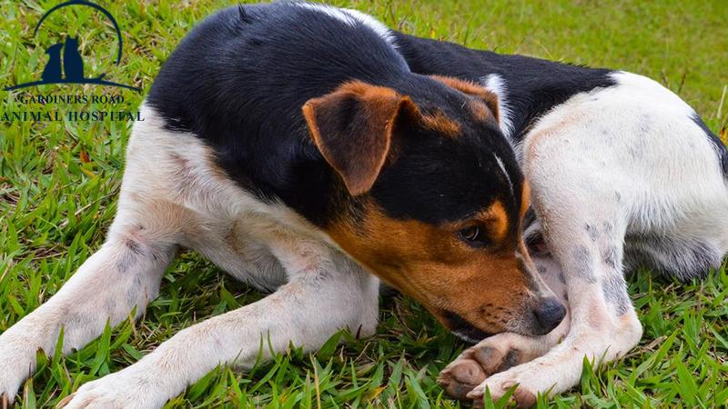Environmental Allergies in Dogs