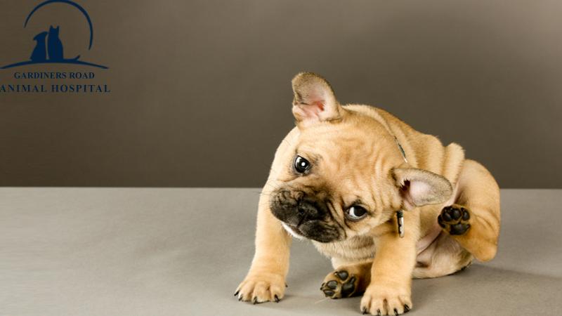dogs-affected-seasonal-allergies1