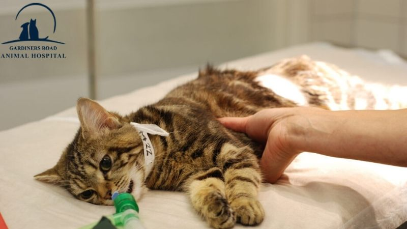 pet surgery and anesthesia kingston