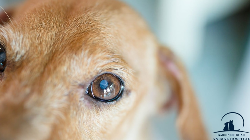 eye-infection-in-dogs1